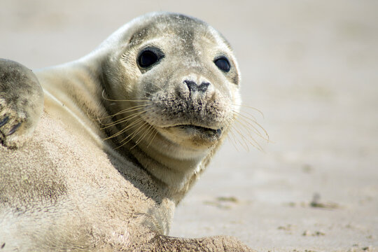 Seal laying on Skagen beach in Denmark