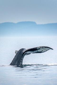 Canada, British Columbia, Victoria. Humpback whale tail