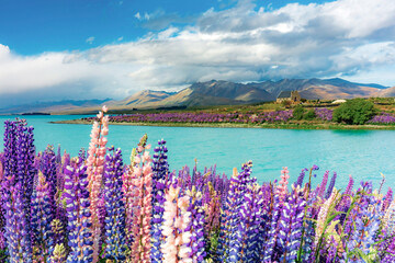 Lupins in bloom by the lake on a sunny spring day at Tekapo, New Zealand