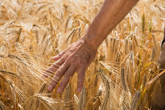 Cropped image of man's hand touching wheat crops at farm