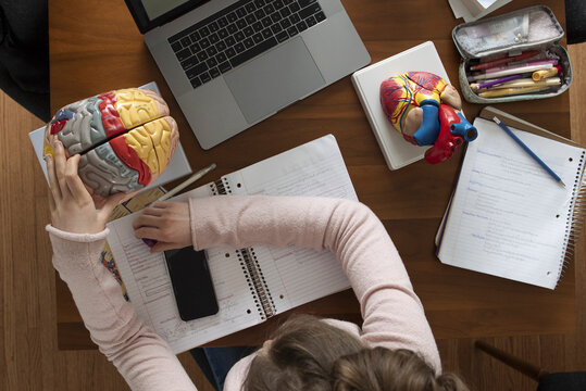 Teenage girl studying anatomical brain at dining table