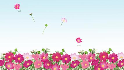 コスモス畑たくさんの色とりどりのコスモスの花ワイドバーチャル背景素材