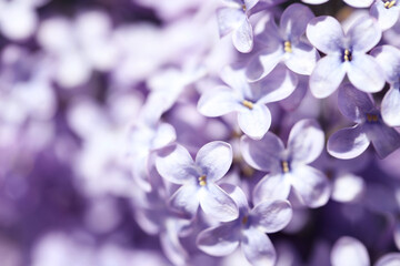 Closeup view of beautiful blooming lilac shrub outdoors