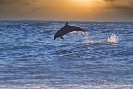 Dolphins surfing big waves at Rincon point in California