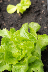 Young lettuce in the garden, vertical