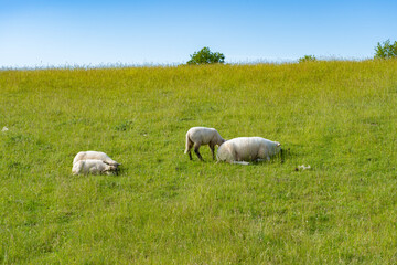 Sheep with lambs on pasture on a summer morning in Germany