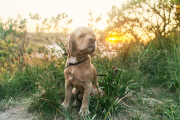 A young american cocker spaniel is sitting on the grass at sunset. High quality photo