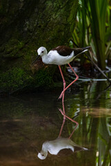 Black-winged stilt walking reflected in the water of a pond