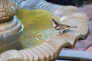 House Sparrow by a Water Bath in Summer