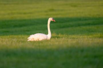 Mute swan in meadow in evening sunlight.