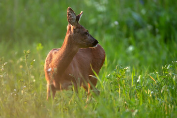 Roe deer between tall grass in evening sunlight.