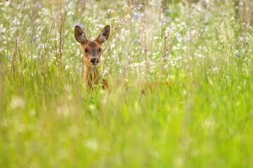 Deer between white flowers in summery meadow.