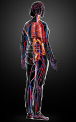 3d rendered medically accurate illustration of the female circulatory  system and internal organs