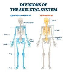 Divisions of appendicular and axial skeletal system labeled explanation.