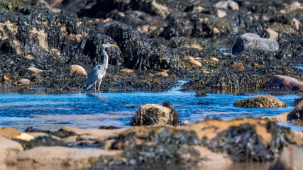 Grey heron wading in shallow water by a rocky coastline