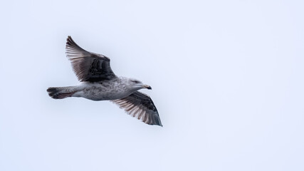 Young Great black backed gull in flight with his wings outstretched showing feathers and plumage