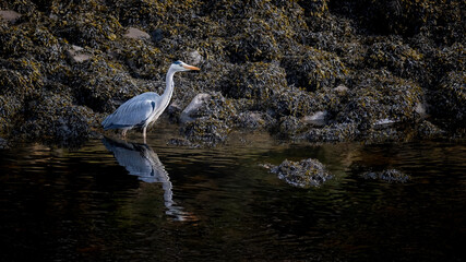 Grey heron wading through coastal rocks with reflections in the calm water