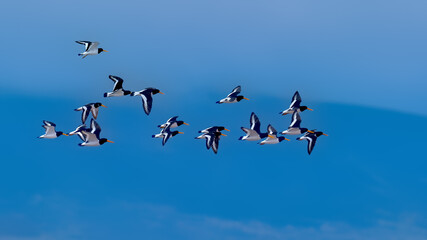 Flock of oyster catchers flying in a blue sky