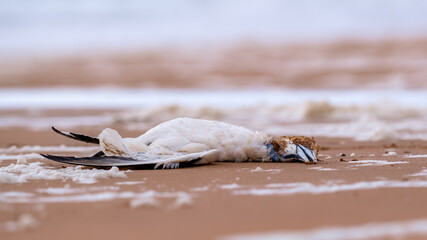 Dead adult gannet lying washed up on a sandy beach