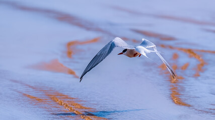 Arctic tern flying low over a shallow stream on a beach