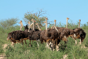 Group of ostriches (Struthio camelus) in natural habitat, Kalahari desert, South Africa.