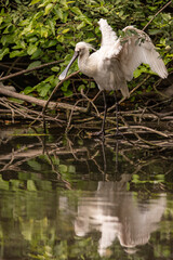 Eurasian common spoonbill opens wings reflected in a pond