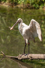 Eurasian common spoonbill Eurasian common spoonbill opens wings on a tree branch in a pond