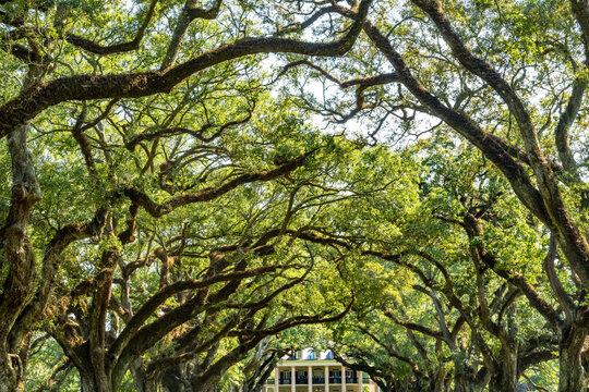 Oak Trees Oak Alley Plantation House Saint James Parish Louisiana