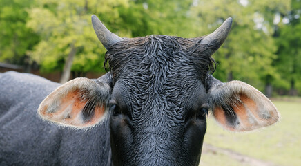Wall Mural - Wet hair of black Brahman crossbred cow close up with horns, looking at camera for beef cattle portrait.