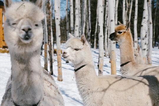White alpacas on sunny snow farm