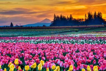Sunrise and Mt Hood at Tulip fields near Woodburn, Oregon