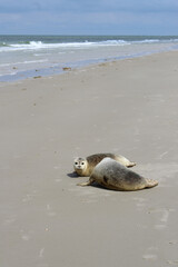 Earless seals on the beach.
