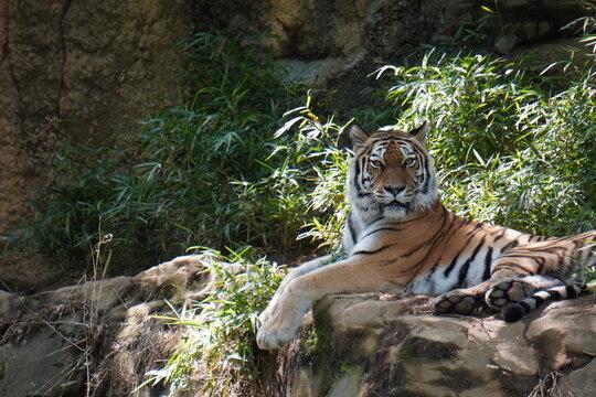 こちらを睨みつけるトラ