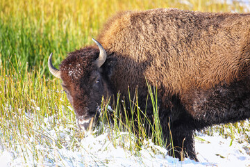 Female bison standing in a field with snow, Yellowstone National Park, Wyoming