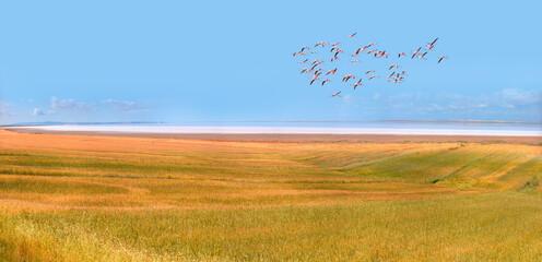 Flamingos flying over salt lake with golden wheat field - Ankara, Turkey