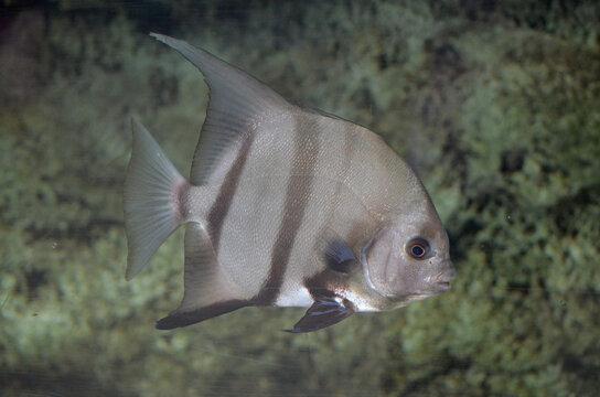 Silver Atlantic Spadefish Swimming Along Under Water