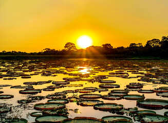 Sunset in pantanal wetlands with pond and victoria regia plant