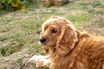 American Cocker Spaniel relaxing outdoors in the backyard of a village house on a sunny day
