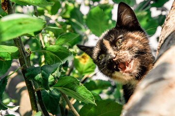 Tricolor shorthair kitten hidden into the tree, looking down and meowing for help