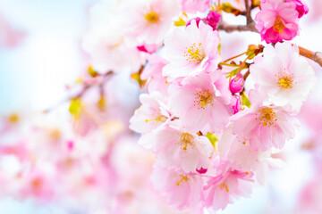 Pink sakura cherry blossom, spring background