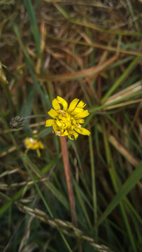 Close up of Lapsana communis, the common nipplewort, blooming in spring. Natural background
