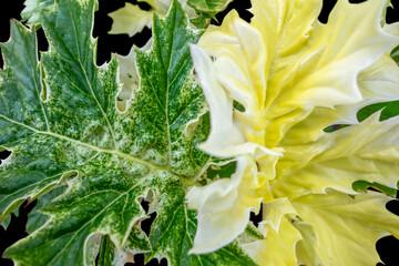 big tricolor leaves closeup