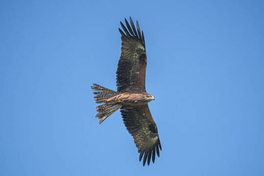 black kite against the blue sky