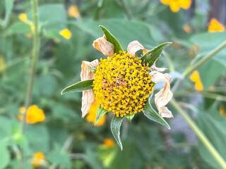 Macro planta amarilla perdiendo hojas en jardin