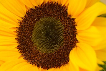 Aluminium Prints Flower shop Closeup shot of a beautiful yellow sunflower