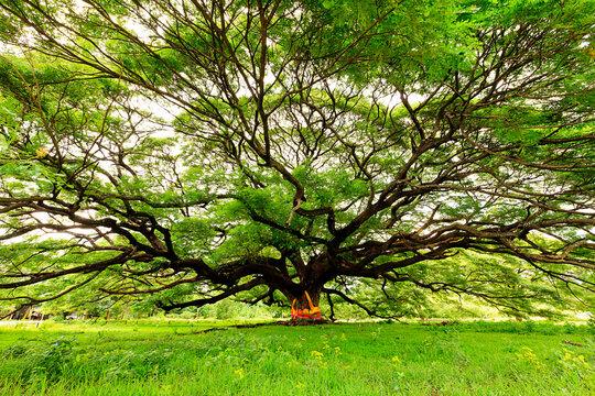 Huge Monkey Pod tree