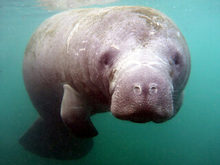 Young manatee (sea cow) portrait