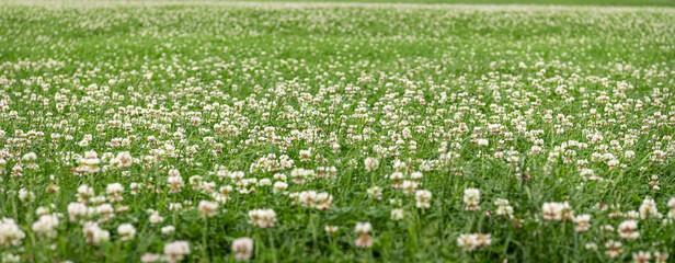 Printed roller blinds Floral Field of flowering Clover