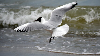 Fototapeta seagull, mewa, morze Bałtyk, woda obraz