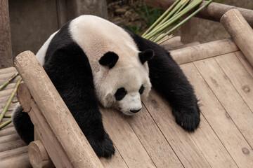 Fotorolgordijn Panda giant panda bear sleeping